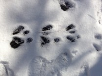 Fresh tracks in fresh snow.