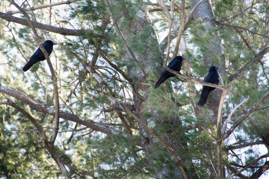 Loud and proud crows aren't bothered by much