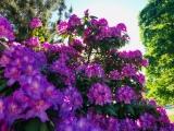 Resurrection Rhododendron